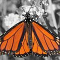 Monarch On Black And White by Mark J Seefeldt