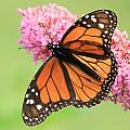 Monarch On Blossoms by Don Downer