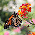 Monarch On Butterfly Weed by Doris Potter