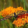 Monarch On Butterfly Weed by Scott Hovind