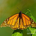 Monarch On Hackberry by Robert Frederick