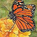Monarch On Marigold by Sara Bell