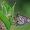 Monarch On Milkweed by Bruce J Robinson