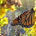Monarch On The Dunes  by Nancy Patterson