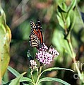 Monarch On The Wild Flowers by Yumi Johnson