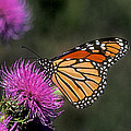 Monarch On Thistle 13f by Gerry Gantt