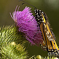 Monarch On Thistle 2 by Darleen Stry