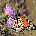 Monarch On Thistle II by Bruce J Robinson