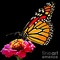 Monarch On Zinnia by John From CNY