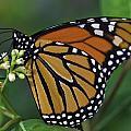 Monarch by Perla Copernik