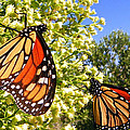 Monarch Rest I by Sheri McLeroy