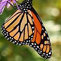 Monarch Rest by Paul Slebodnick
