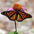 Monarch by Ronald Grogan