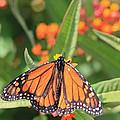 Monarch Sipping by Heidi Smith