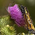 Monarch Thistle Munching by Darleen Stry