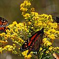 Monarchs On Yellow by Lori Tambakis