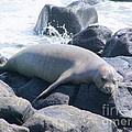 Monk Seal by Mary Deal