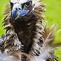 Monk Vulture 5 by Heiko Koehrer-Wagner