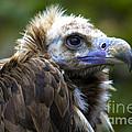 Monk Vulture by Heiko Koehrer-Wagner