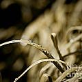 Monkey Grass Dewdew by Thomas Benzenhafer