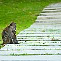 Monkey Mother With Baby Resting On A Walkway by U Schade
