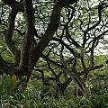 Monkeypod Trees II by Kathy Schumann