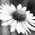 Monochrome Echinacea by Margaret Pitcher
