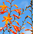 Montbretia And Blue Skies by Susan Wall