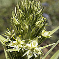 Monument Plant (swertia Radiata) by Bob Gibbons