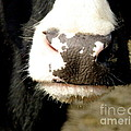 Moo by Lainie Wrightson