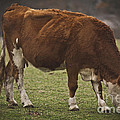 Moo Moo Cow by Kim Henderson