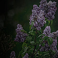 Mood Lilac by Susan Capuano