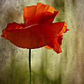 Moody Poppy. by Clare Bambers - Bambers Images
