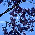 Moon Through Dogwood by Aimee L Maher ALM GALLERY