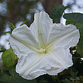 Moonflower by Cheri Randolph
