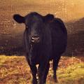 Moooo Cow  by Gray  Artus