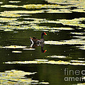 Moorhen Reflection by Al Powell Photography USA