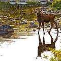 Moose Baby 2 by Glenn Gordon