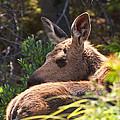 Moose Baby 5 by Glenn Gordon