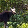Moose Baxter State Park 4 by Glenn Gordon