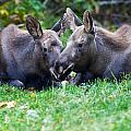 Moose Calves  by Chris Heitstuman