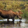 Moose Drinking In A Pond, Tombstone by Philippe Henry