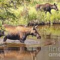 Moose Family by Andre Babiak