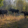 Moose Family by Ronald Lutz