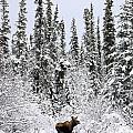 Moose In Deep Snow, Near Teslin, Yukon by Robert Postma