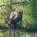 Moose Is Loose by Michael MacGregor
