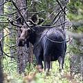 Moose Looks by John Patrick