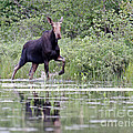 Moose On The Move by Lloyd Alexander
