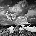 Moose Skull On Parched Earth by Randall Nyhof