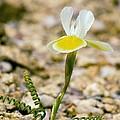 Moraea Serpentina by Bob Gibbons